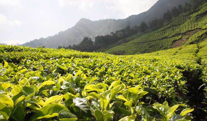 My Kerala Sojourn: The Tea Tale