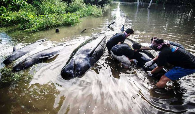 In Indonesia, Most Of Beached Whales Free Themselves