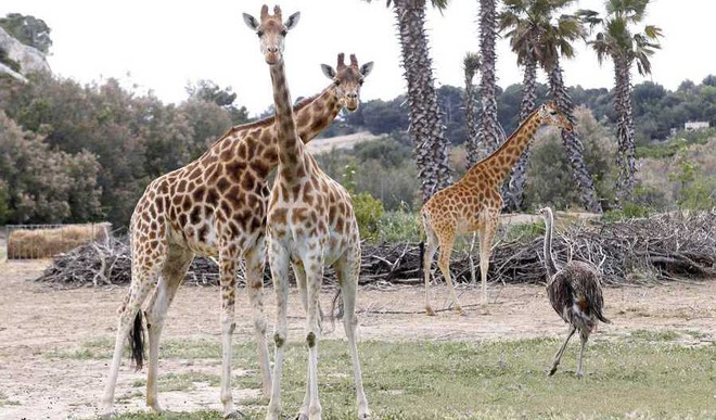Giraffes Suffer 'Silent Extinction', Wildlife Advocates Say