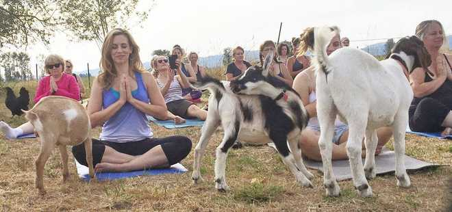 Goat Yoga Is A Reality