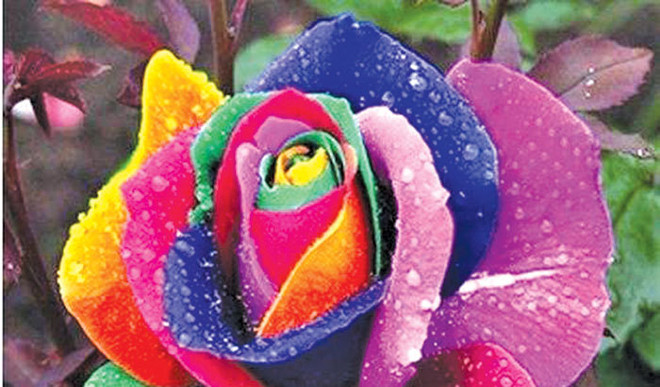 What Is Rainbow Rose