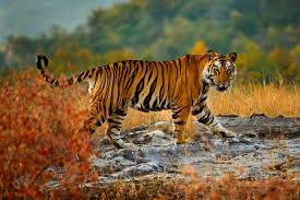 Jerome: The Government Should Take Proactive Measures To Save Tigers