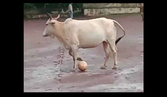 This Cow's Football Skills Ruling The Internet