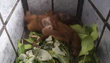 Kaaviya: A Step Towards Saving Orangutans
